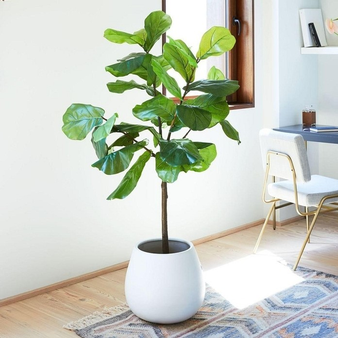 Cây bàng Singapore là gợi ý tiêu chuẩn dành cho những người chưa biết mạng Mộc hợp với cây gì trong phong thủy.