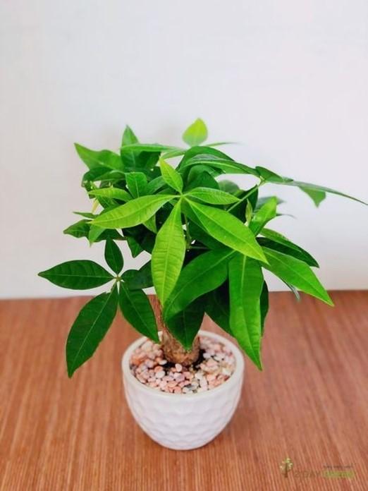 Cây kim ngân chính là phương án gợi ý cho vấn đề băn khoăn mệnh Mộc trồng cây gìthì phù hợp.